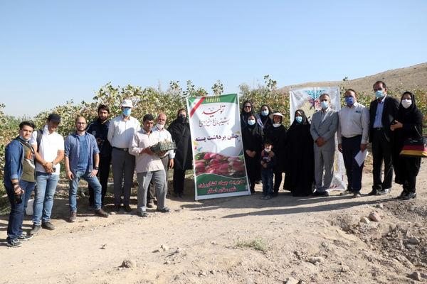 برداشت بیش از 375 تن  پسته از باغات استان آذربایجان شرقی