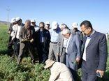 برداشت ۱۰۰ هزار تن چغندرقند در کردستان