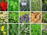 ۴۷۰ تن انواع گیاهان دارویی در مزارع کشاورزی قزوین تولید شد