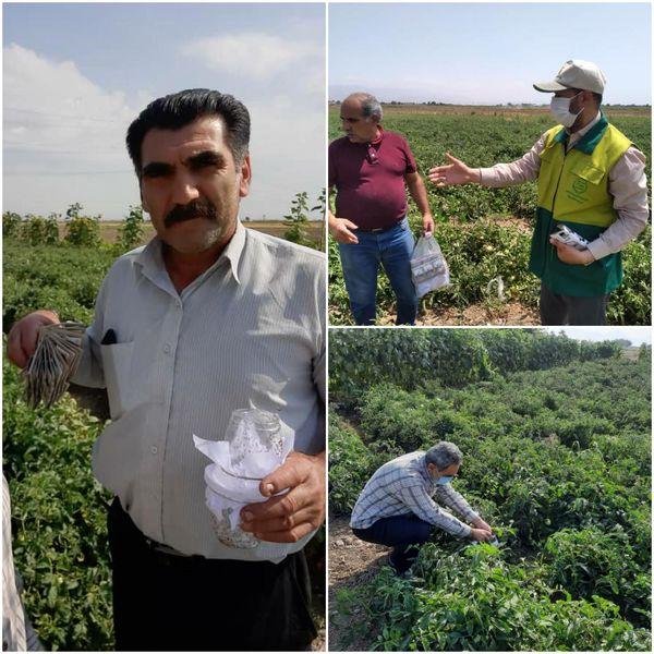 استفاده از روشهای کنترل بیولوژیک آفات در مزارع گوجه فرنگی آبیک