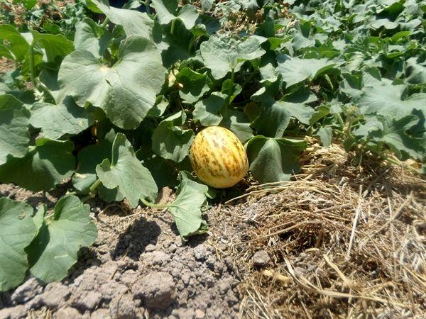 آغاز برداشت محصول گرمک در شهرستان سیروان