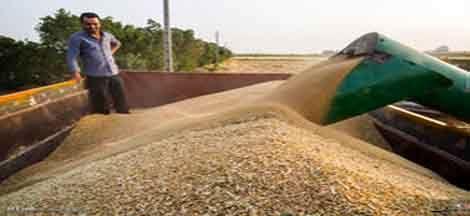 خرید تضمینی 61 هزار تن گندم از بهره برداران در سال جهش تولید