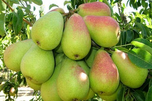 امسال بیش از ۴ هزار تن گلابی از باغات آذربایجانغربی برداشت میشود