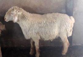 اصلاح نژاد گوسفند بومی بر پایه هسته باز اصلاح نژادی