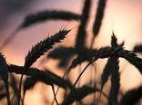 روسیه به نیمی از کشورهای جهان گندم صادر می کند