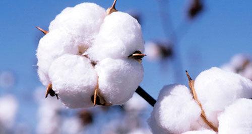 امسال بیش از  50 هزار تن وش پنبه در استان اردبیل تولید میشود/ افزایش 60 درصدی سطح کشت