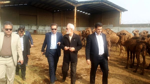 برای اولین بار در کشور؛ تولید شیرخشک از شیر شتر در شهر ری