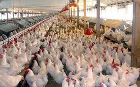 قیمت مرغ زنده در استان کرمان از میانگین کشوری کمتر است