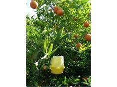 مبارزه با مگس میوه در 13 هزار هکتار از باغهای بابل/ 9000 مگس شکار شد
