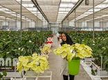 بهرهوری 80 درصدی در گلخانه مکانیزه ساری