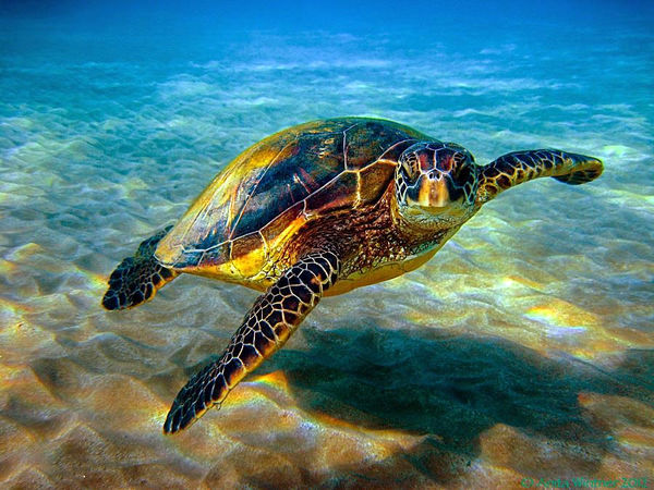 لاکپشتهای پوزه عقابی ، پشت چرمی و زیتونی شدیداً در معرض خطر انقراض هستند