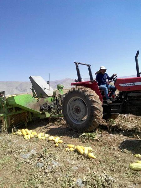 اقلید رکورد دار تولید کدوی آجیلی فارس