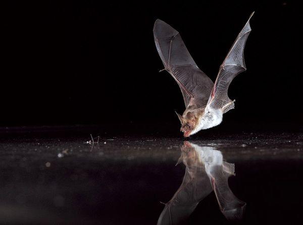 خفاشها در خدمت کشاورزی و تعادل اکوسیستم