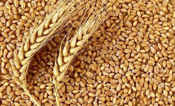 ۳۰ درصد بذر گندم مصرفی در چهارمحال و بختیاری گواهی شده است
