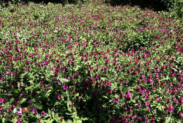 زنان روستایی شهرستان البرز با روشهای نوین کشت گل گاوزبان آشنا شدند