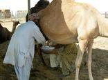 درآمدزایی 131 میلیارد ریالی تولید شیر شتر در خراسان جنوبی