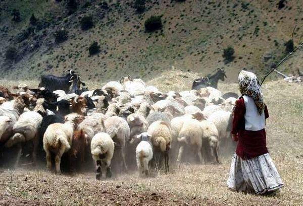 دام مازاد عشایر ایلام خرید تضمینی میشود