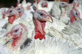 تولید 600 تن گوشت بوقلمون در استان خوزستان