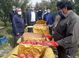 برداشت ۳۰۰ هزار تن سیب درختی در شهرستان مراغه