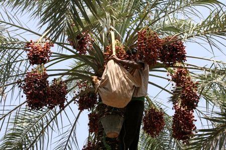 آغاز مبارزه با آفت زنجره خرما در باغات شهرستان نرماشیر