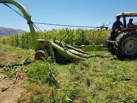 مزارع ذرت علوفه ای سرچهان چاپر می شوند