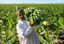 سیستان و بلوچستان توانایی تأمین موز کشور را دارد