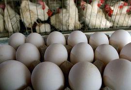 مازاد تولید مرغ و تخم مرغ در کشور