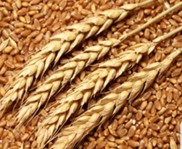 تولید 15 درصد کل بذر کشور در استان خوزستان