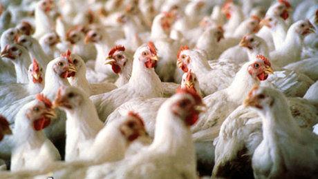 کارآیی و عدم کارآیی آنتیبیوتیکها در تغذیه دام و طیور