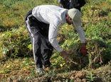برداشت بیش از ۱۴ هزار تن لوبیا در چهارمحال و بختیاری