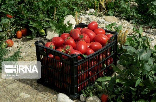 ۱۹ هزار تُن گوجه فرنگی در کردستان خرید حمایتی شد