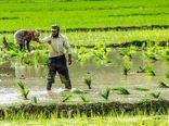 اختیار اعمال محدودیت در کشت برنج به استانها سپرده میشود
