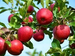 صادرات 1000 تن سیب از آمل به خارج کشور