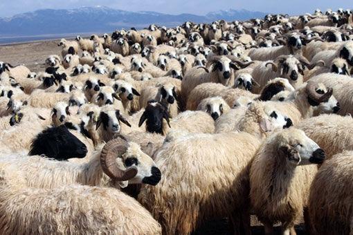 آغاز برداشت پشم از نژاد قوچ ماکویی در شهرستان مرند