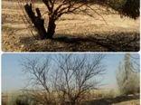 80 اصله درخت زیتون در آتش سوخت