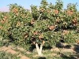 ایجاد باغ مادری و سازگاری پسته در خراسان شمالی