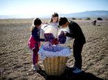 برداشت یک ونیم تُن زعفران از مزارع شهرستان طبس