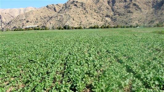 1130 هکتار از اراضی کشاورزی بوئین زهرا به زیر کشت کلزا رفت