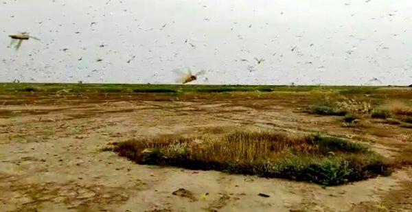 ۱۹ هکتار از عرصههای شهرستان گناوه علیه ملخ صحرایی سمپاشی شد
