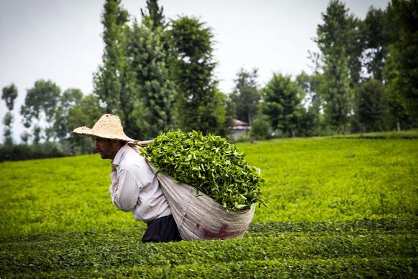 پرداخت 81 درصد از مطالبات چایکاران/ آغاز تسهیلات بهزراعی باغها و کارخانههای چای از امروز