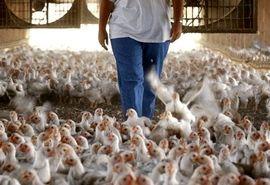 کاهش تخلف مرغداران با اتصال سامانه بازارگاه به سامانه اطلاعات کشتارگاهها