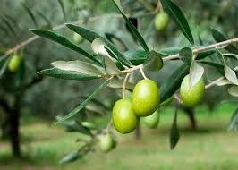 حدود ۶۰ درصد زیتون کشور در شهرستان طارم تولید میشود