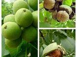 گردوهای نیریز به بازار می آید
