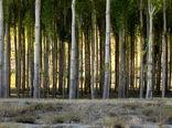 توسعه 30 هزار هکتاری زراعت چوب در سال جهش تولید