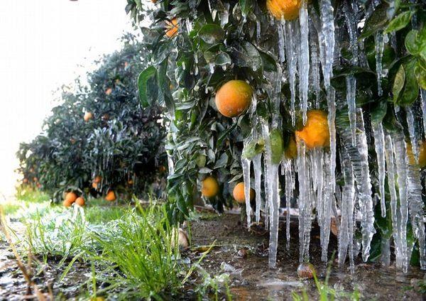 محصولات کشاورزی فارس در معرض خطر سرمازدگی