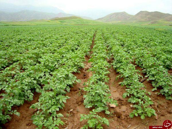 سیب زمینی کار شهرستان ارزوئیه پروانه کاربرد نشان حد مجاز آلاینده ها را دریافت کرد