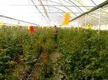 10 هزار قطعه کارت زرد در گلخانههای البرز نصب شد