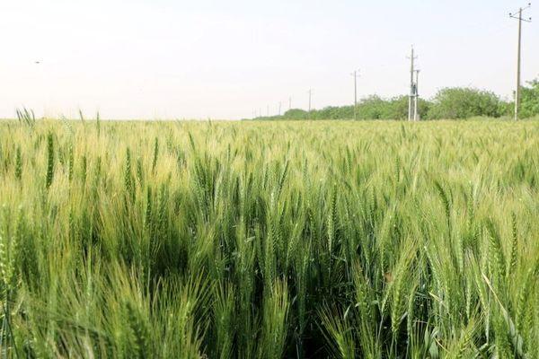 پیش بینی تولید ۲۹۷ هزار تُن گندم در خراسان شمالی