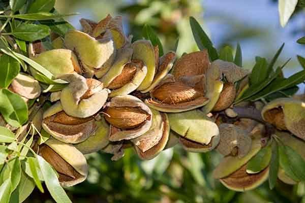 اصلاح درختان بادام زود گل باغستان سنتی قزوین