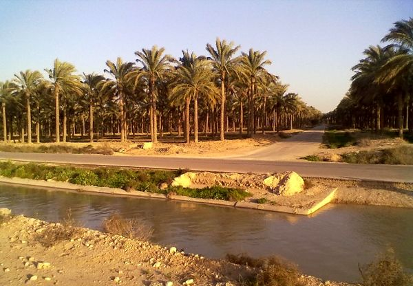 آبیاری ۲.۵ میلیون اصله نخیلات در استان بوشهر